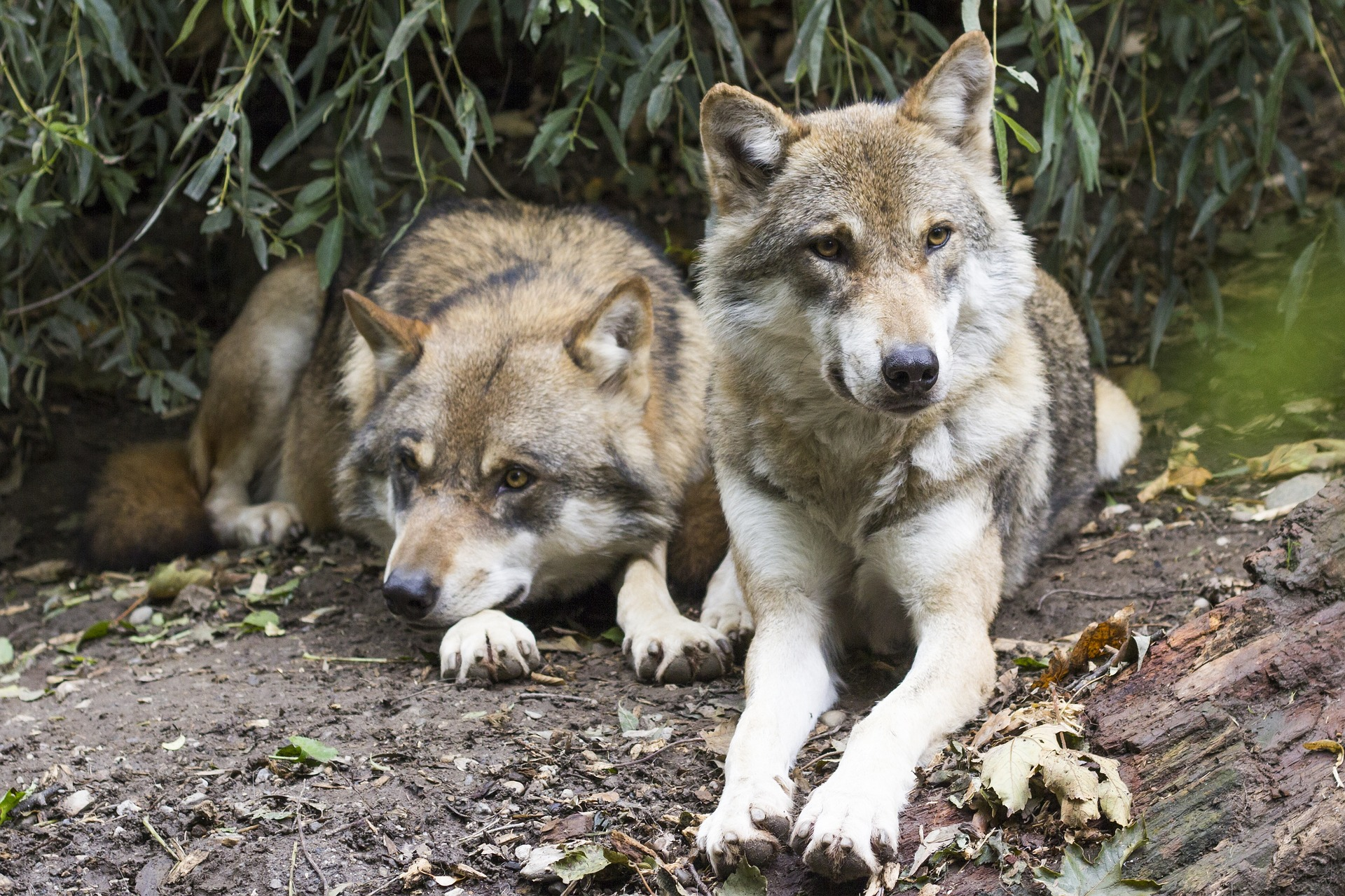 wolves-1388558_1920